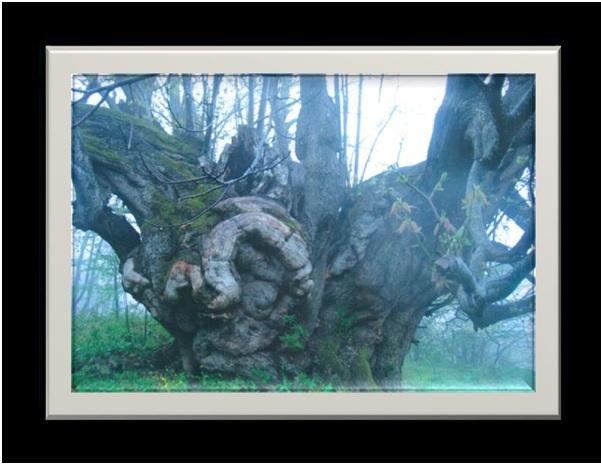 erfelek ağaç