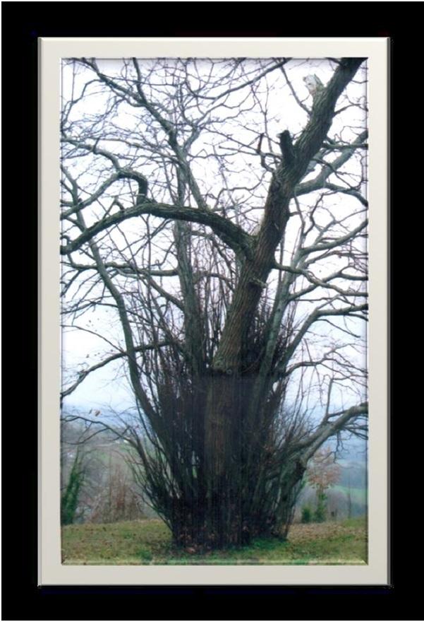 kestane ağaç